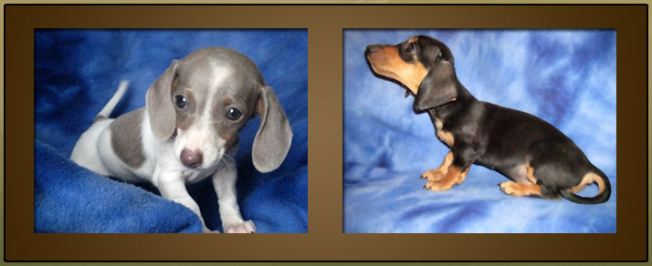 Miniature Dachshund Puppies For Sale Dapple Doxie