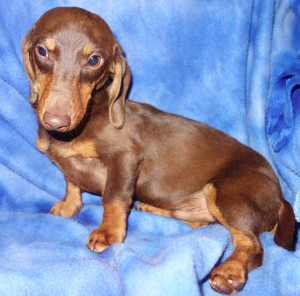 Banjo - Chocolate and Tan Smooth Coat Miniature Dachshund
