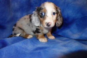 Past Miniature Dachshund Puppies | Dapple Doxie
