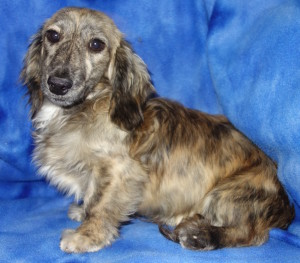 Lager - Brindled Cream English Cream Miniature Dachshund