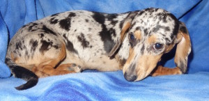 Raina - Miniature Dachshund