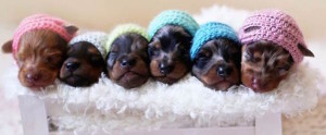 Miniature Dachshund Puppies for Sale Colorado