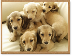 Miniature Dachshund Puppies Colorado