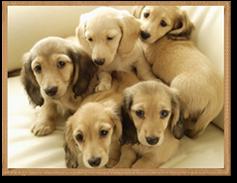 Miniature Dachshund Puppies for Sale | Dapple Doxie